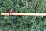 Red Oak Simple Bird